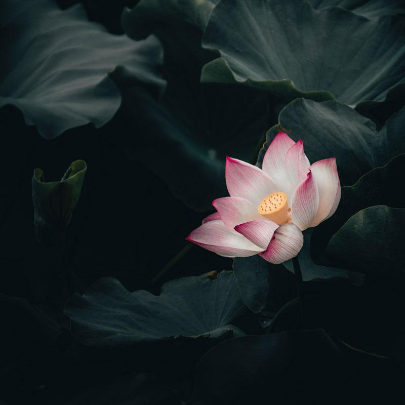 Bedeutung des Symbol Lotusblume für die Chakren